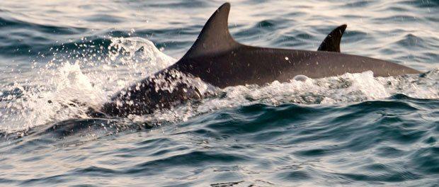 delfiner i mirissa
