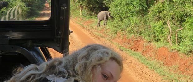 en lille elefant går over vejen på sri lanka