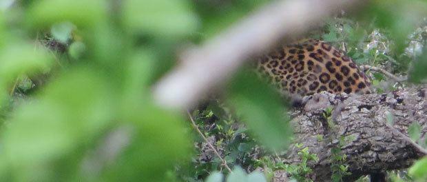 sri lanka leoparden kom liiige til synes