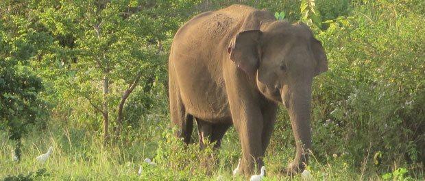elefant i uda walave park