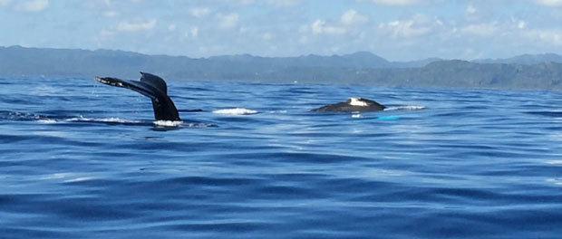 på hvalsafari med børnene i caribien
