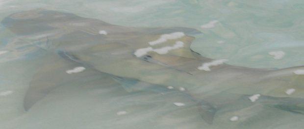 hajer ved strandkanten ved heron island
