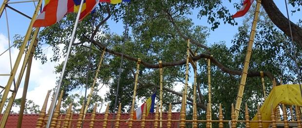træet fra buddha