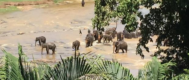 elefanterne ved pinnawala