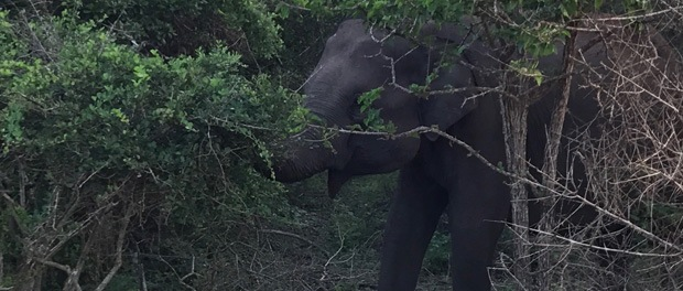 elefanter i yala
