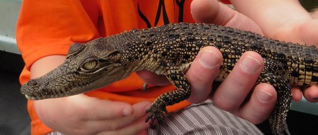 Riversafari i Bentota og krokodilleunge