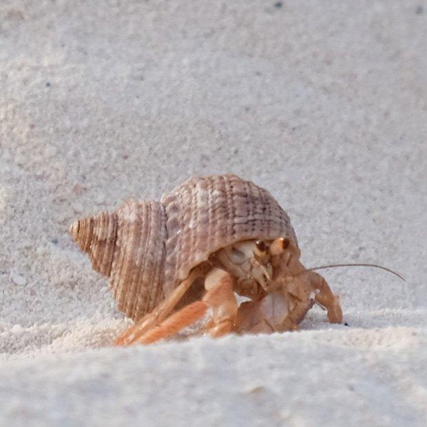 krabber cayo levisa