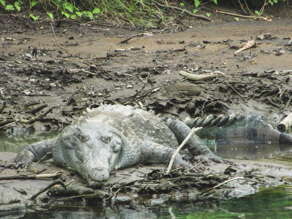 krokodiller i costa rica