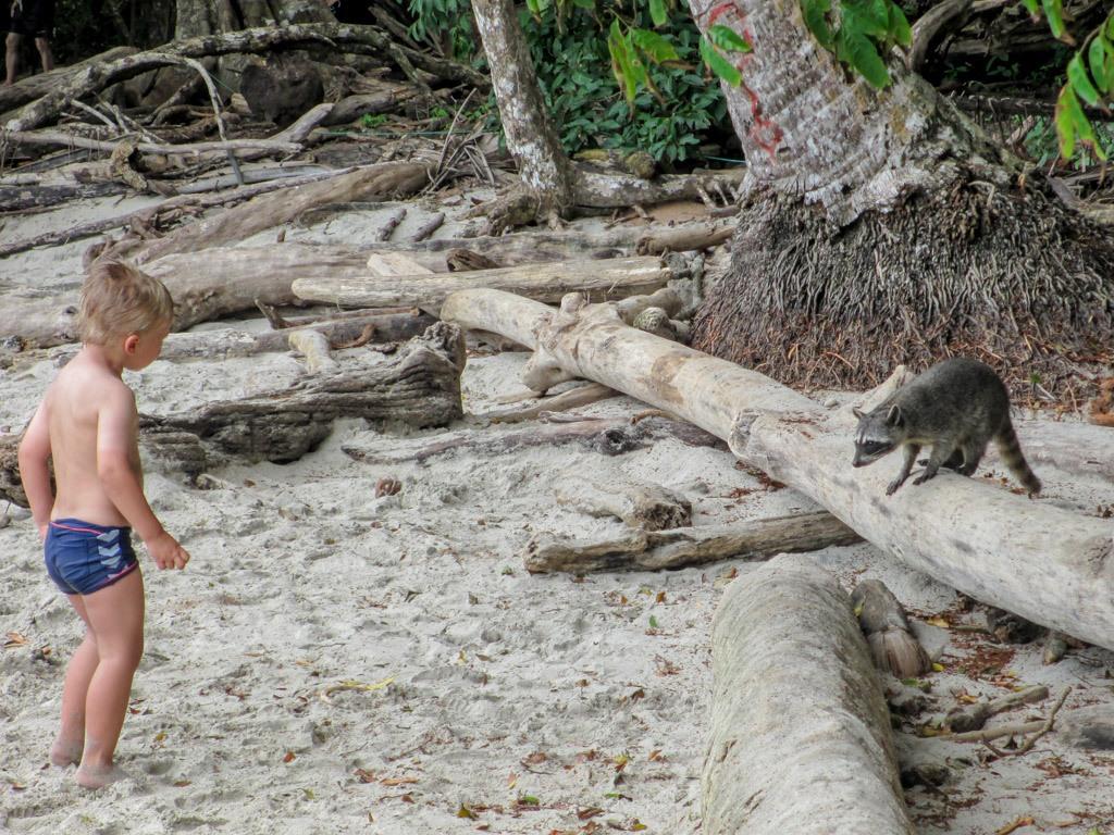 hygge med vaskebjørne på stranden