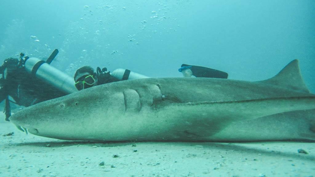 dykning med nursesharks i vaavu atollen