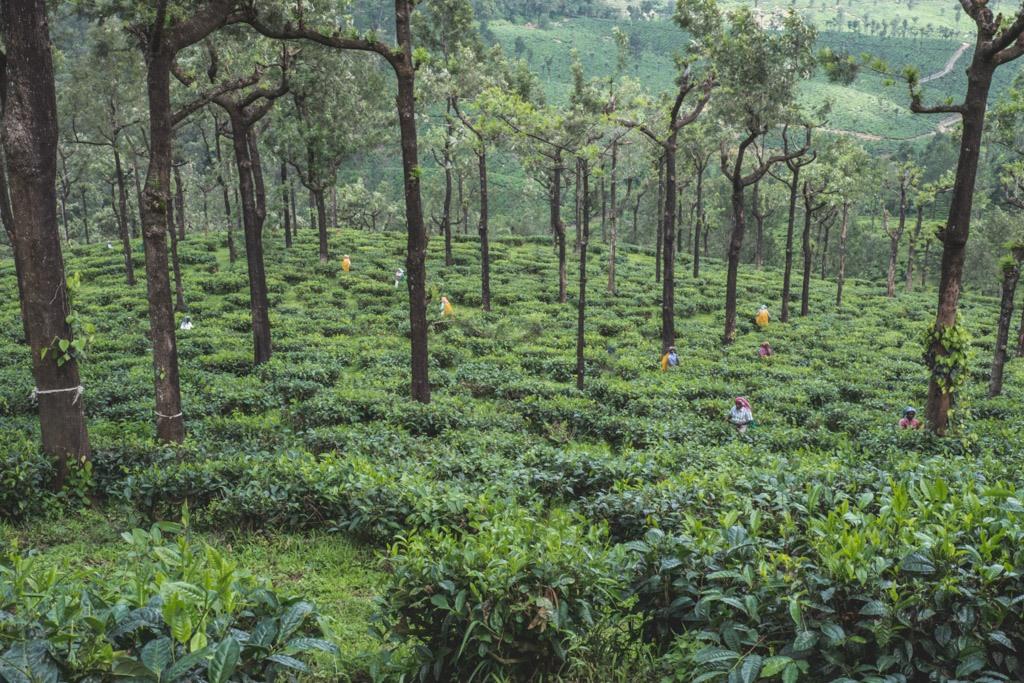 teplukkerne på teplantagen